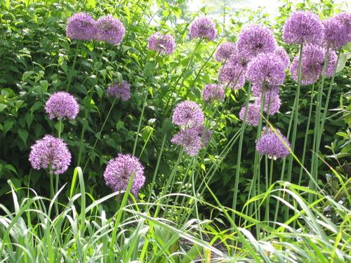 51506rockefellerparkpurpleflowers.jpg