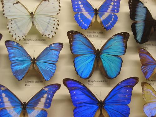 52406bluebutterflies.jpg