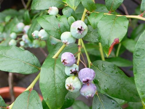 7307berries.jpg