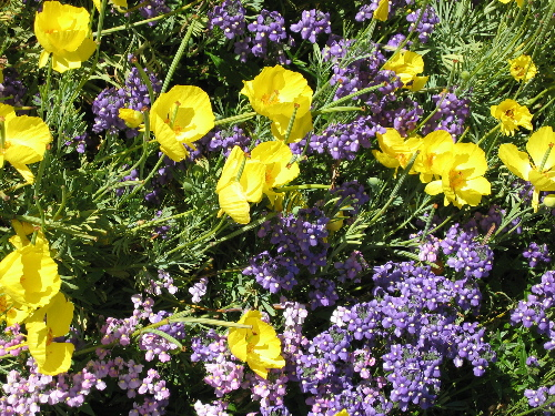 61204yellowpurpleflowers.jpg